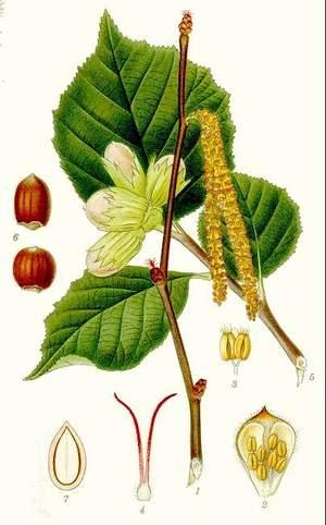 Baumhasel botanisch