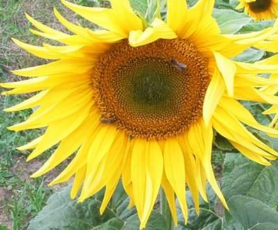 Sonnenblume Blütezeit